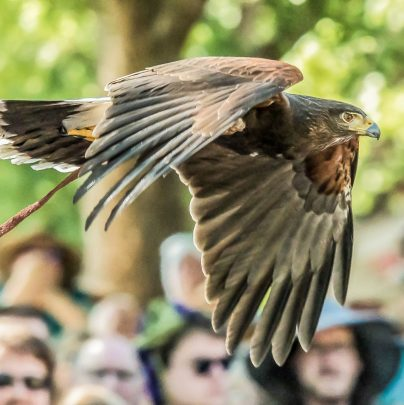 Birds of Prey Exhibitions